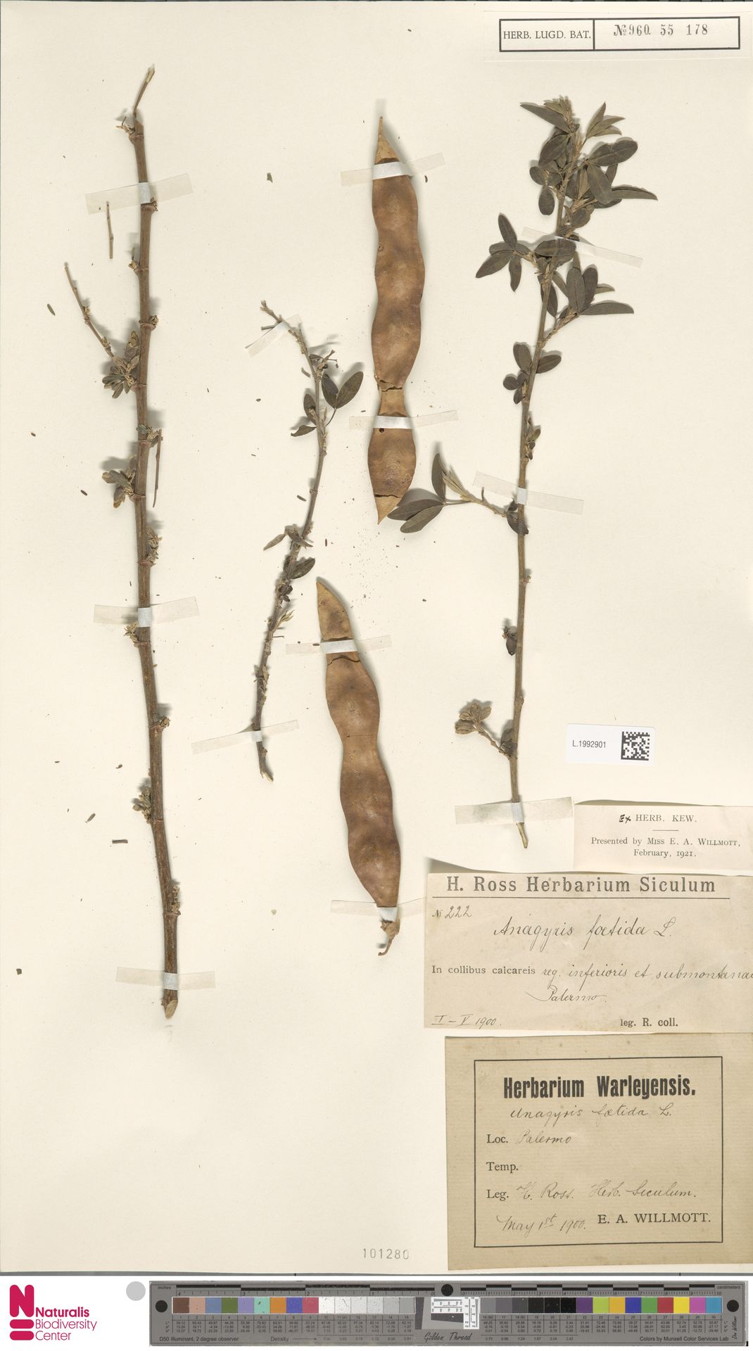 L.1992901   Anagyris foetida L.