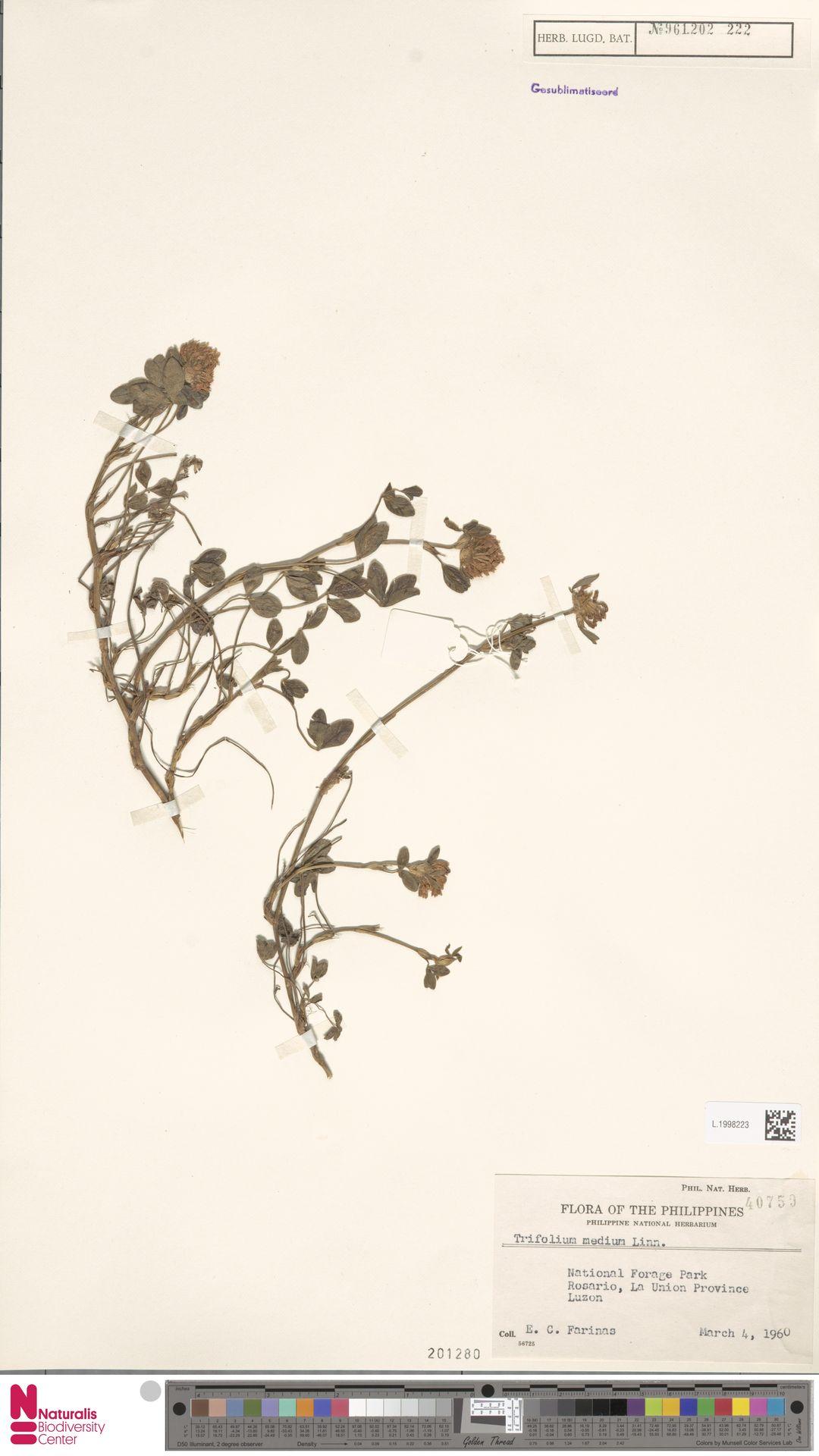 L.1998223   Trifolium pratense L.