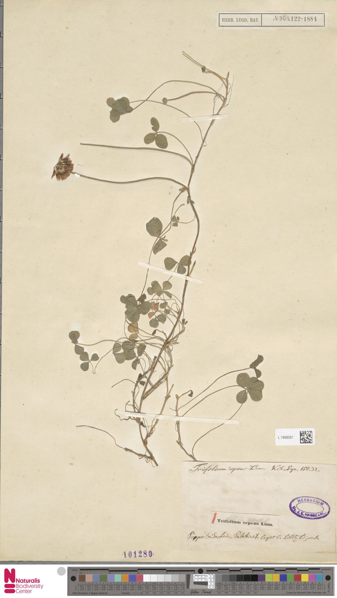 L.1998267 | Trifolium repens L.