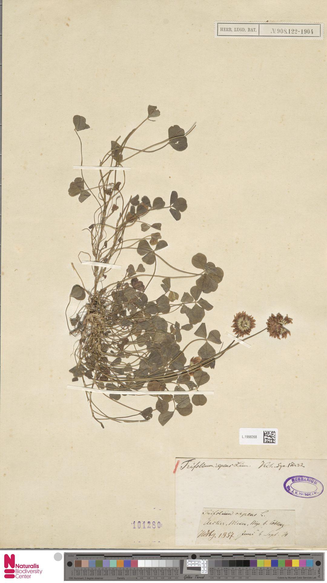 L.1998268   Trifolium repens L.