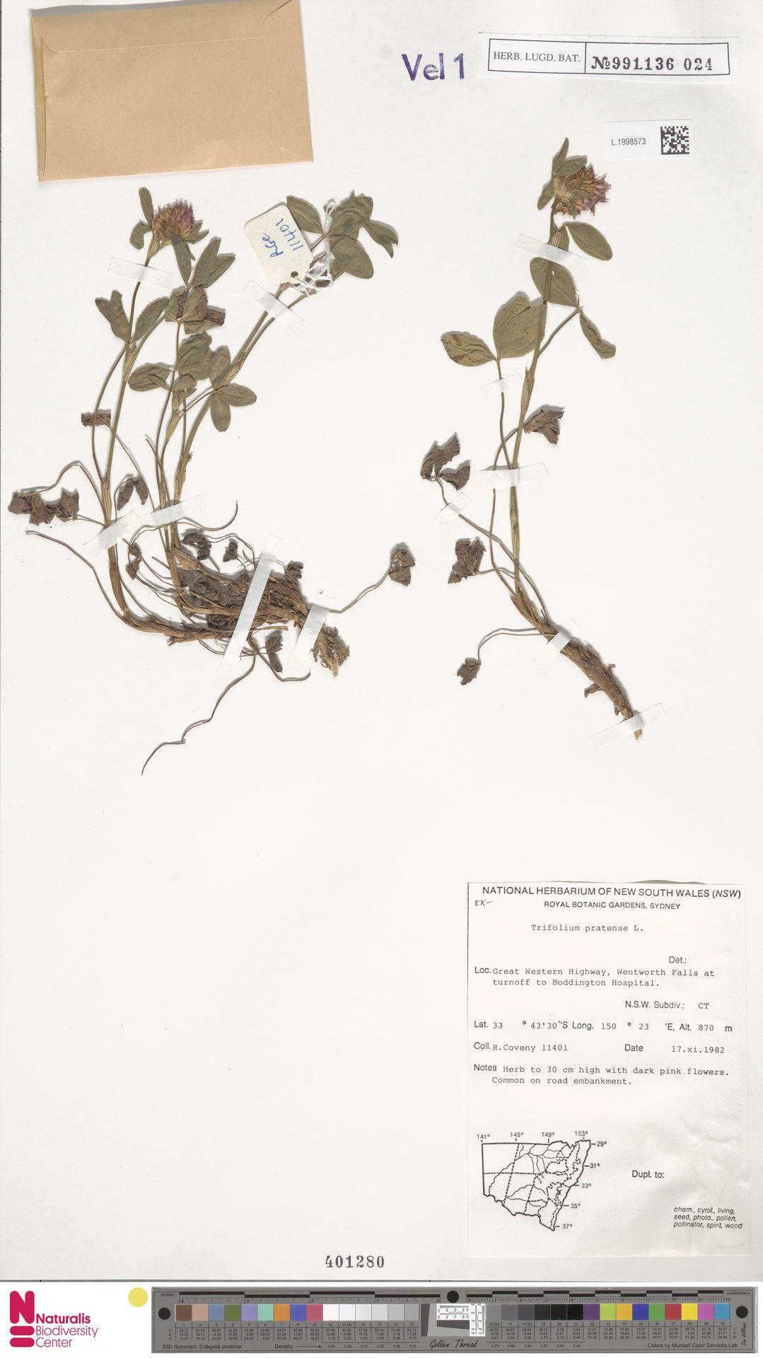 L.1998573   Trifolium pratense L.