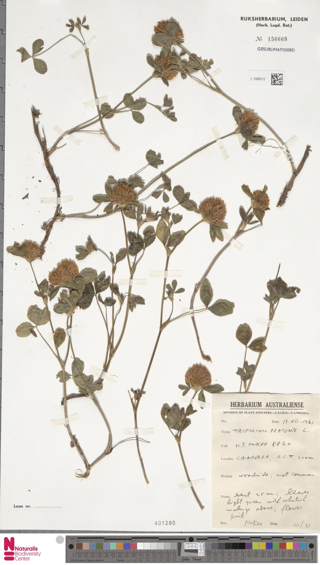 L.1998575 | Trifolium pratense L.