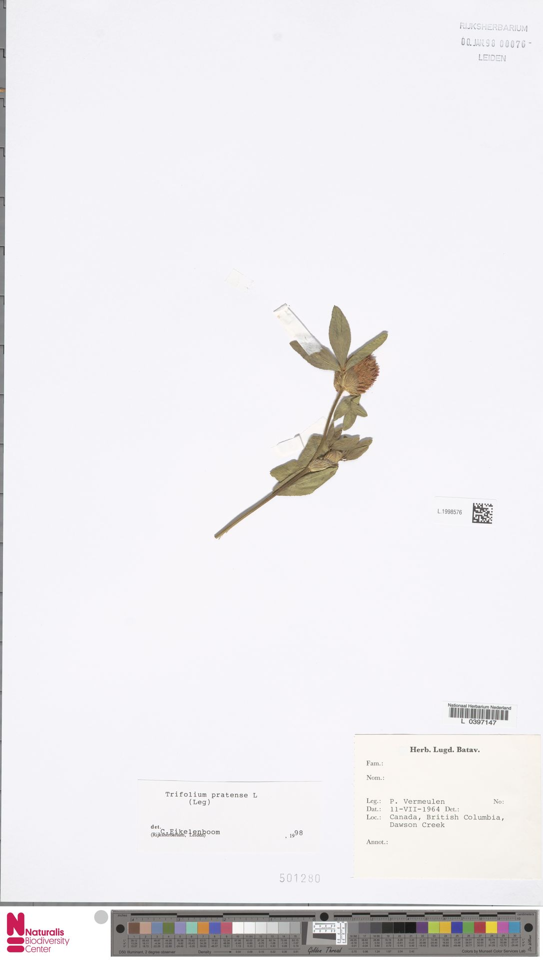 L.1998576 | Trifolium pratense L.