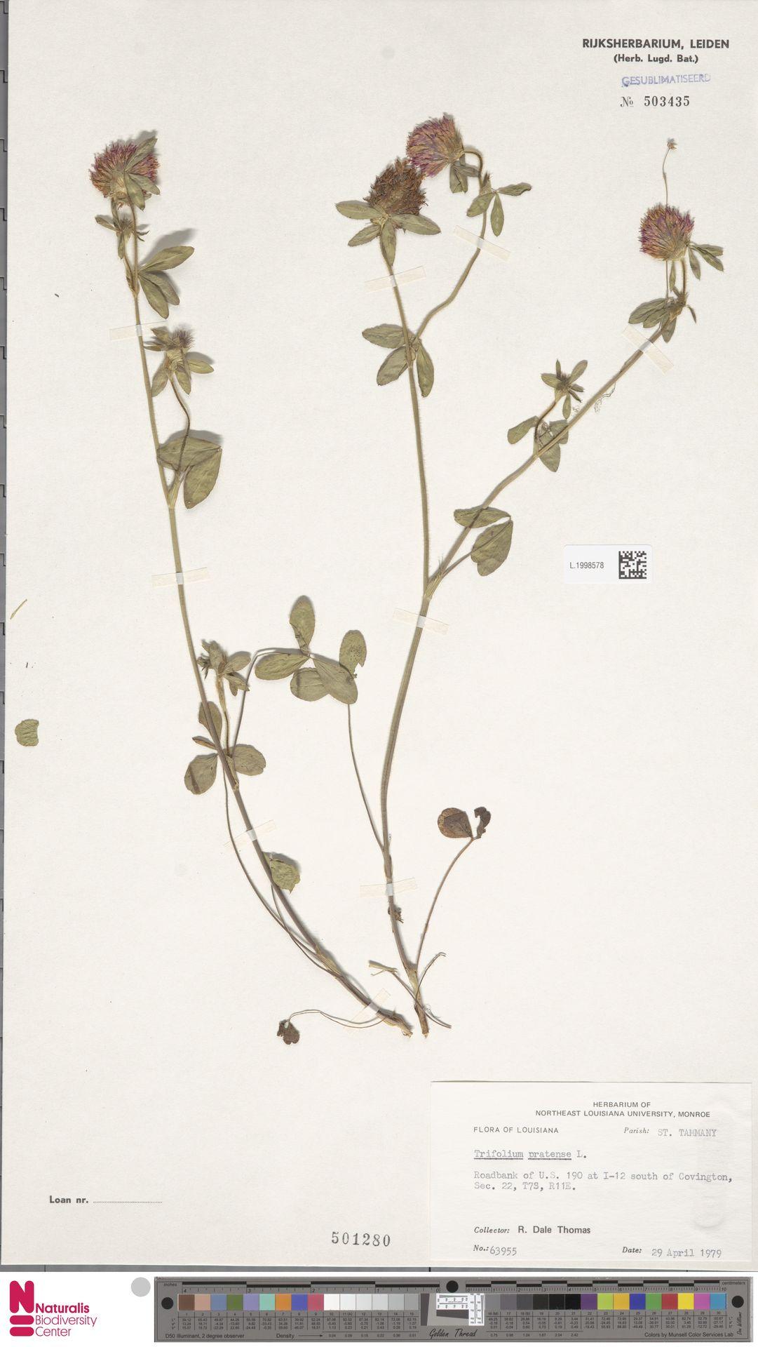 L.1998578   Trifolium pratense L.