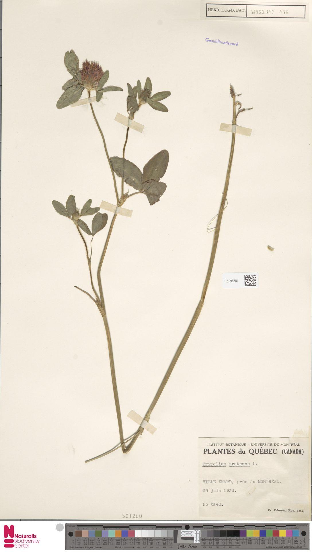 L.1998581 | Trifolium pratense L.