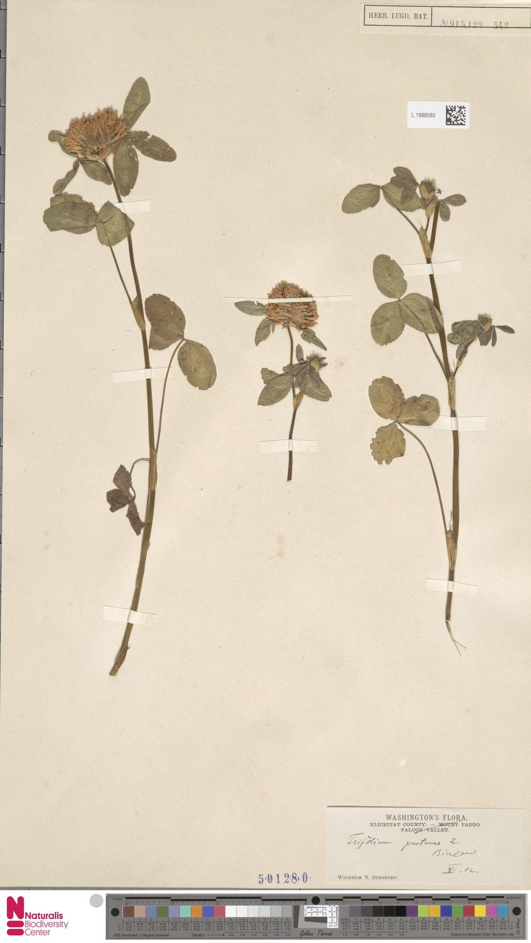 L.1998585 | Trifolium pratense L.