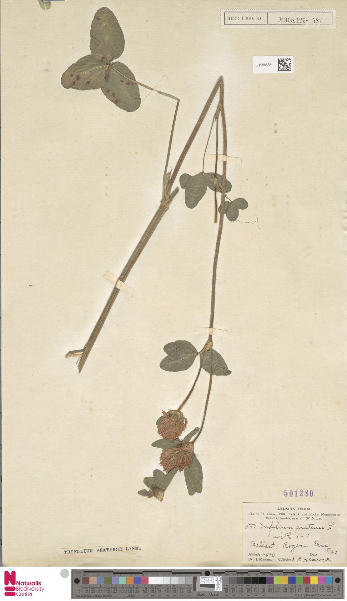 L.1998586 | Trifolium pratense L.
