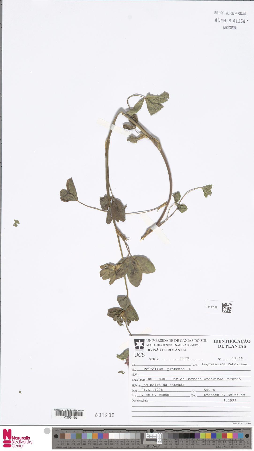 L.1998589 | Trifolium pratense L.
