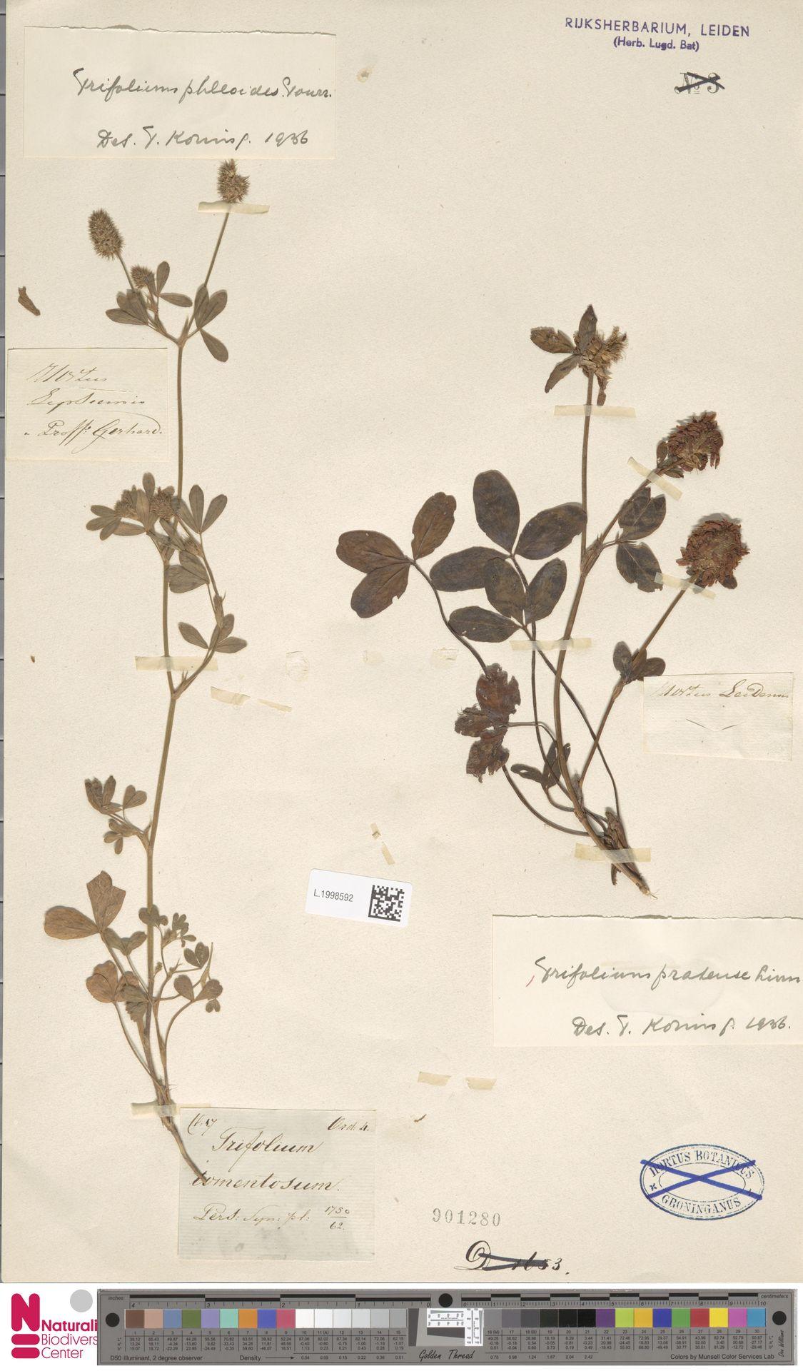 L.1998592 | Trifolium pratense L.