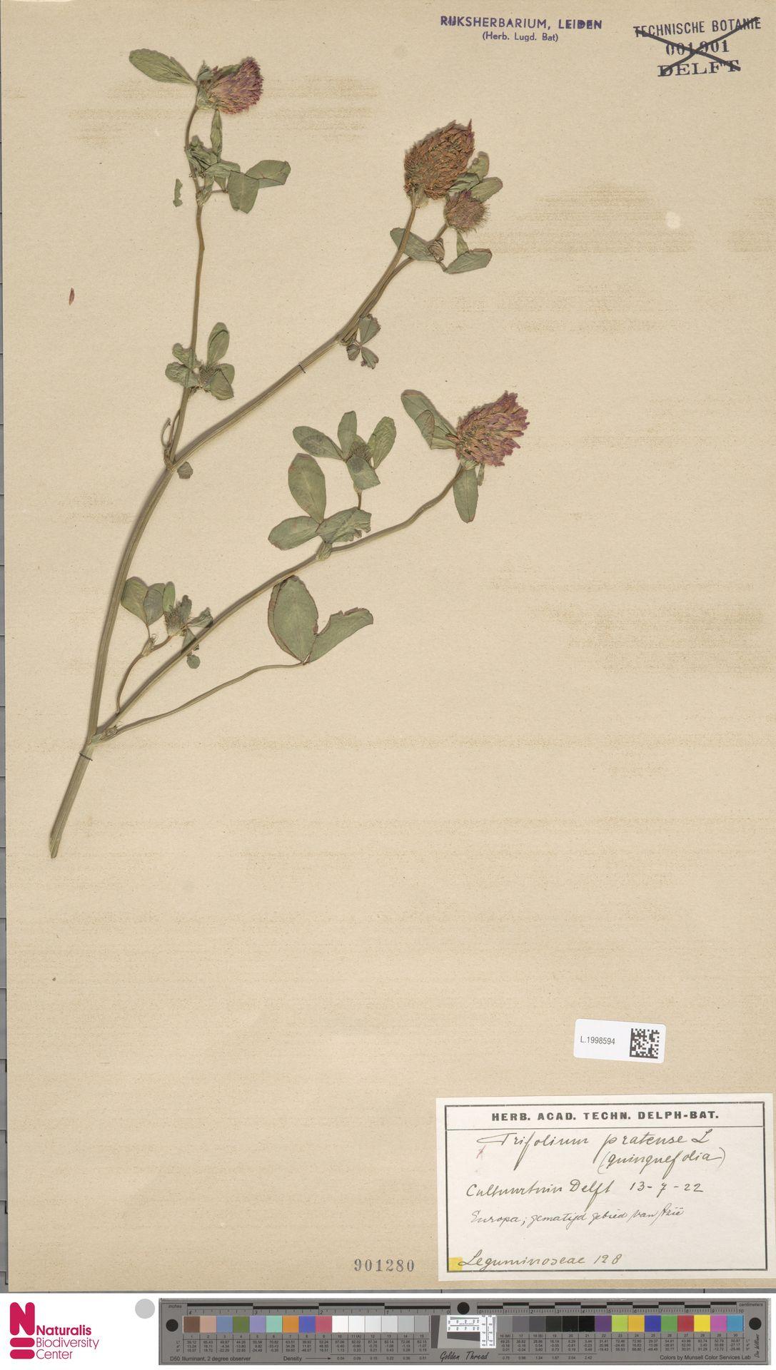 L.1998594 | Trifolium pratense L.