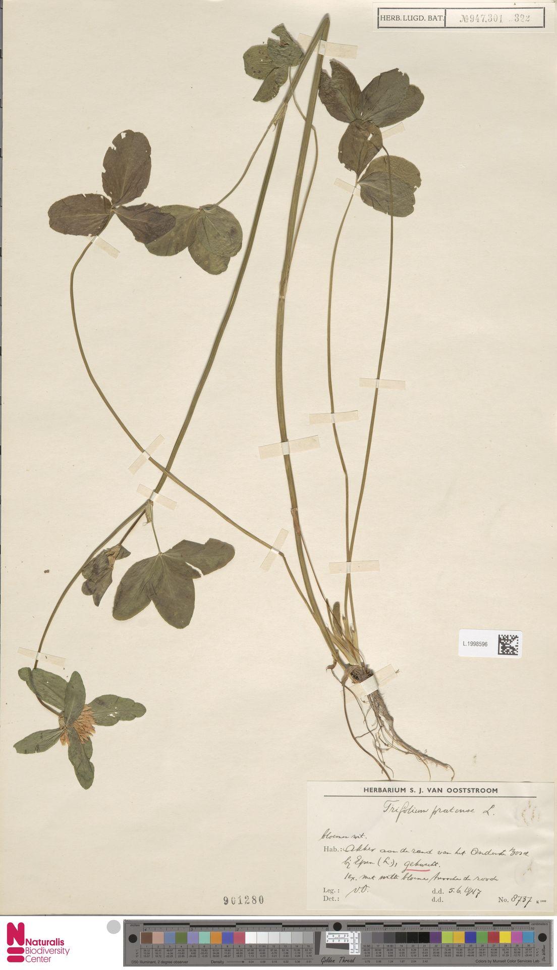 L.1998596 | Trifolium pratense L.