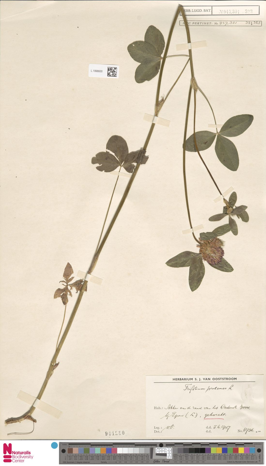 L.1998600   Trifolium pratense L.