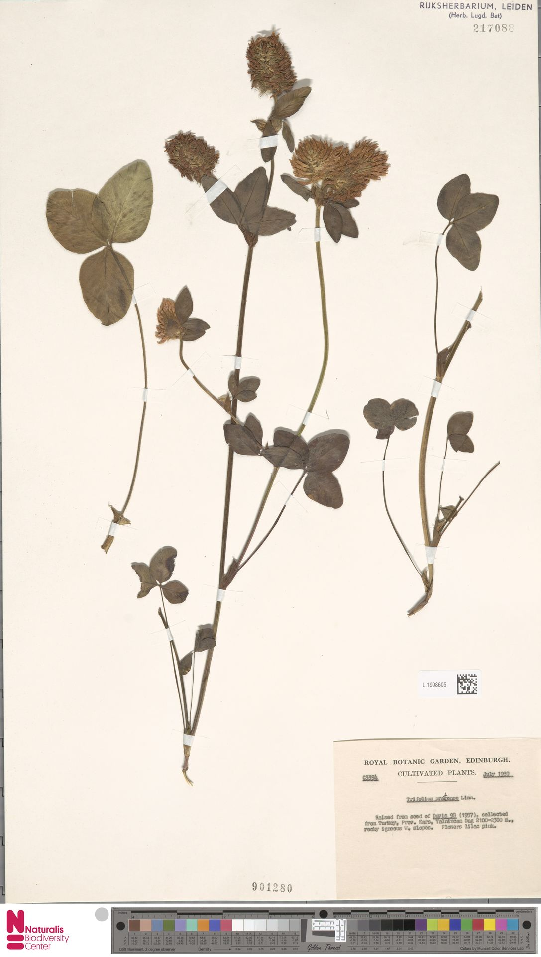 L.1998605 | Trifolium pratense L.