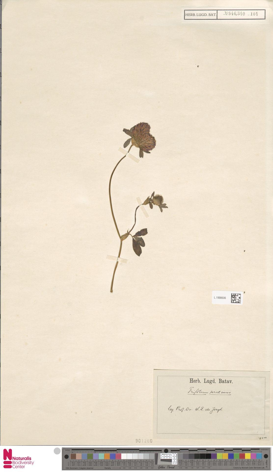 L.1998606 | Trifolium pratense L.