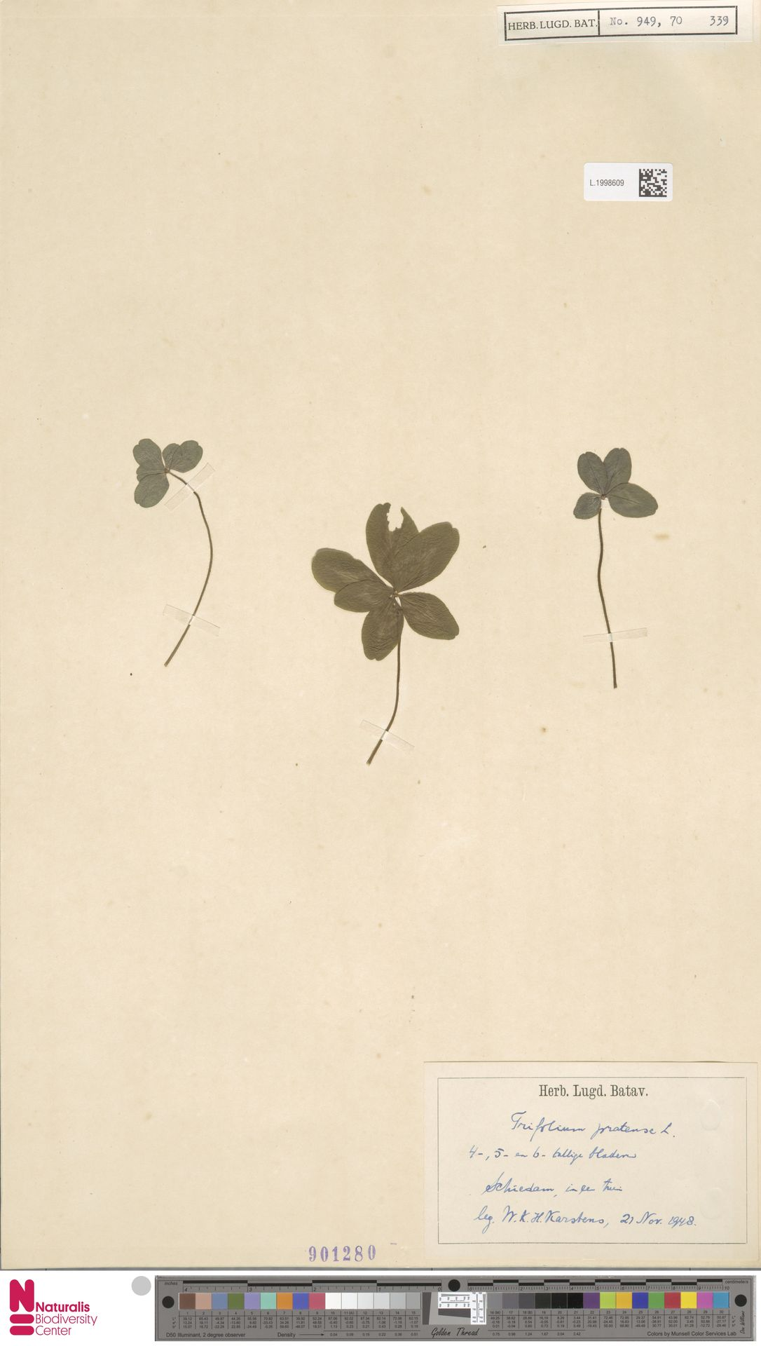 L.1998609 | Trifolium pratense L.