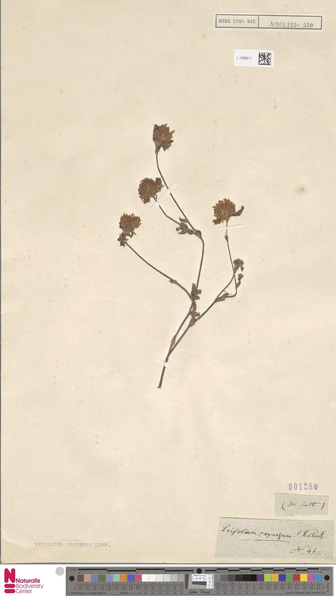 L.1998611 | Trifolium pratense L.