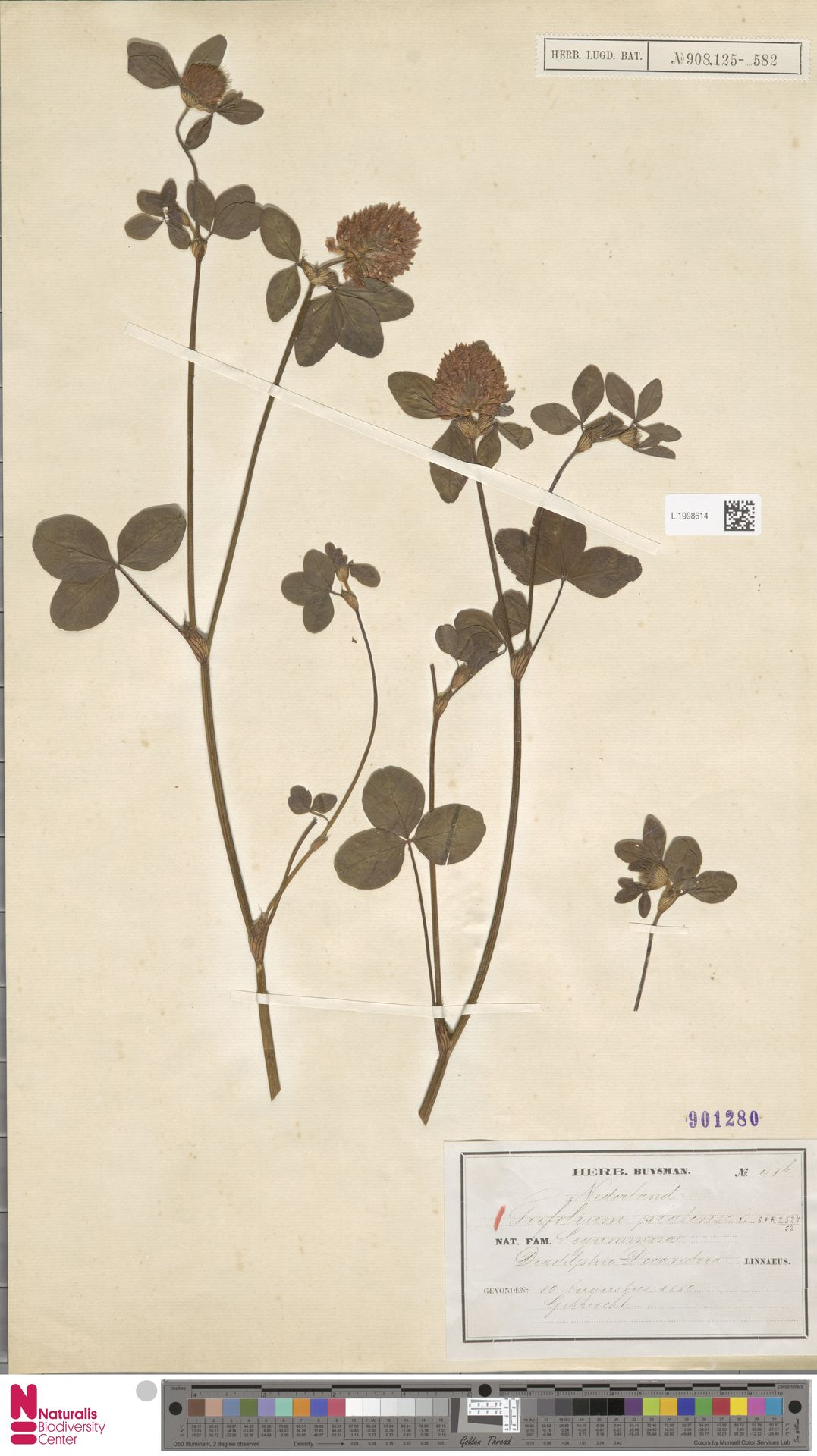 L.1998614 | Trifolium pratense L.
