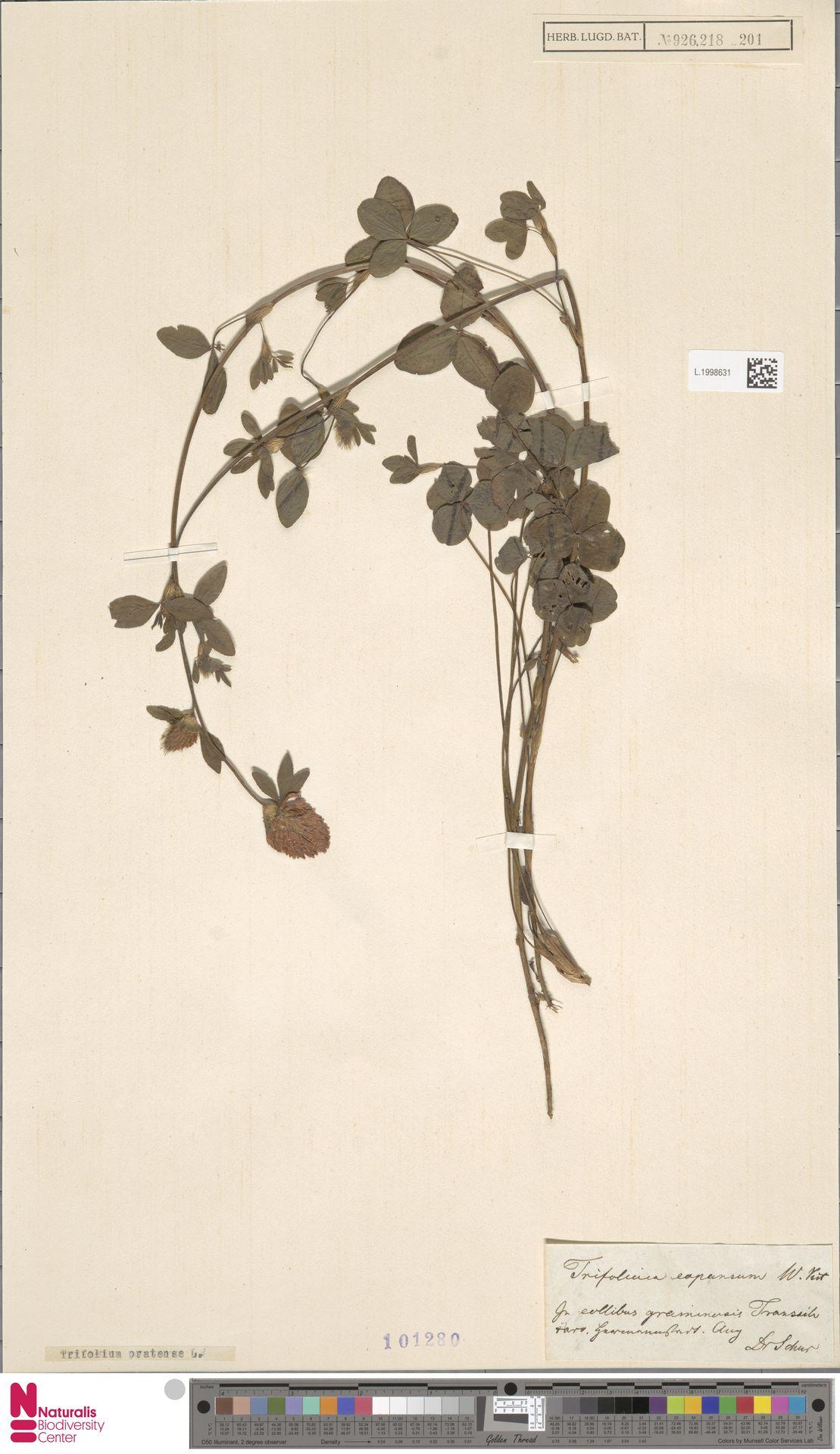 L.1998631 | Trifolium pratense L.