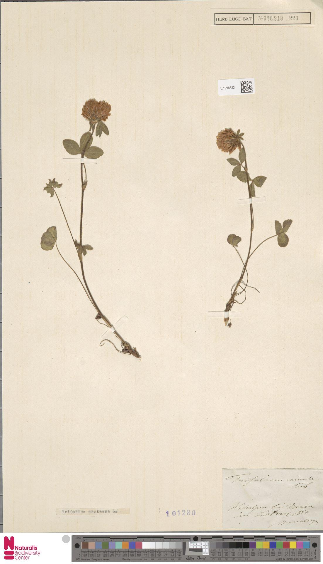 L.1998632 | Trifolium pratense L.