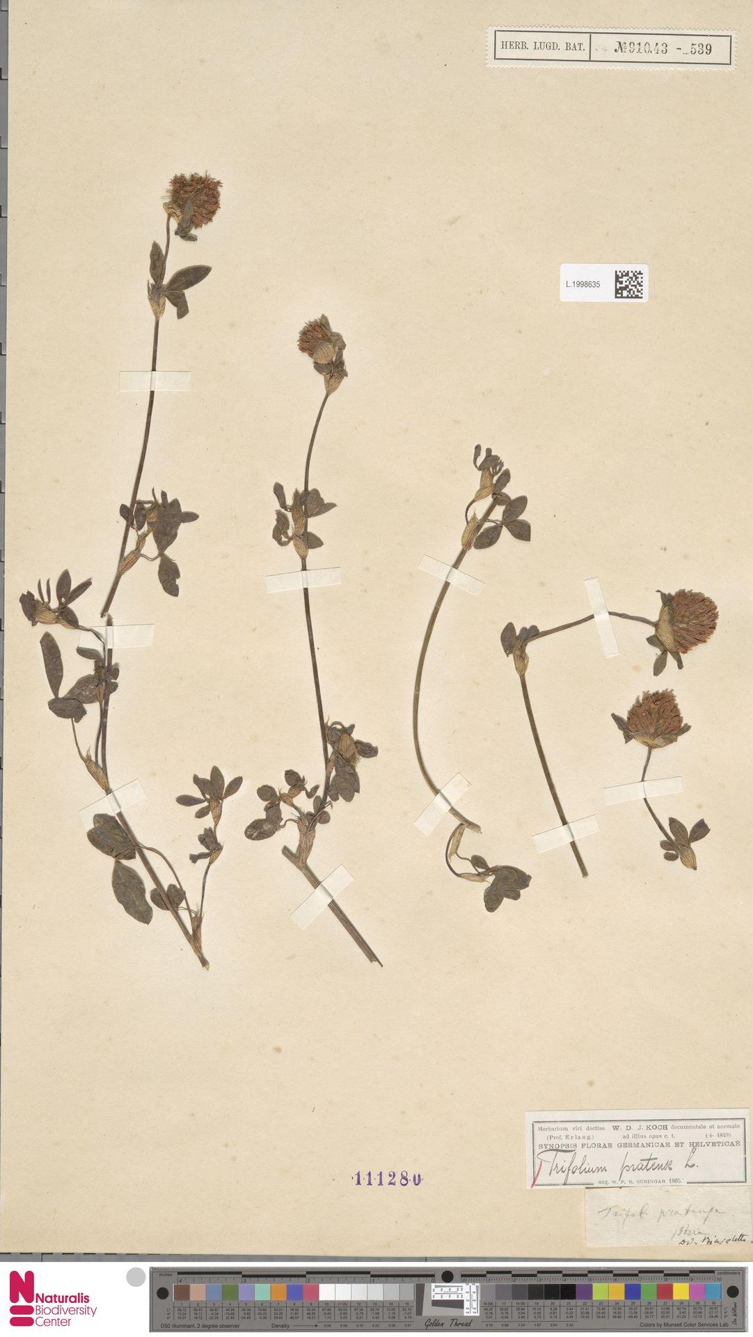 L.1998635 | Trifolium pratense L.