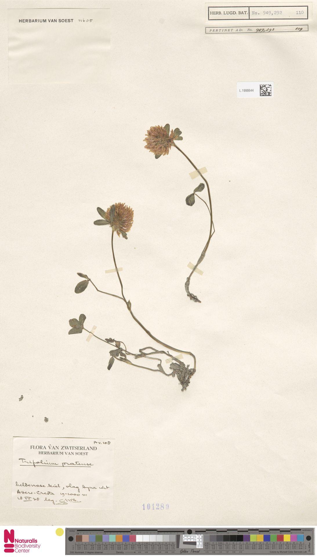 L.1998644 | Trifolium pratense L.