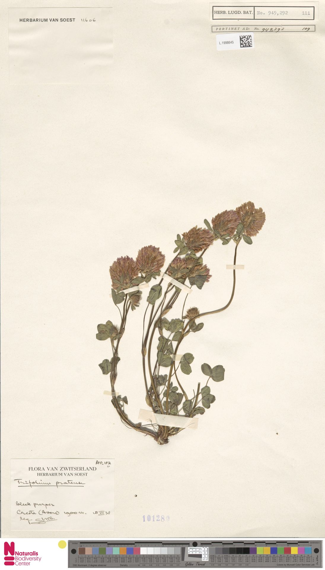 L.1998645   Trifolium pratense L.
