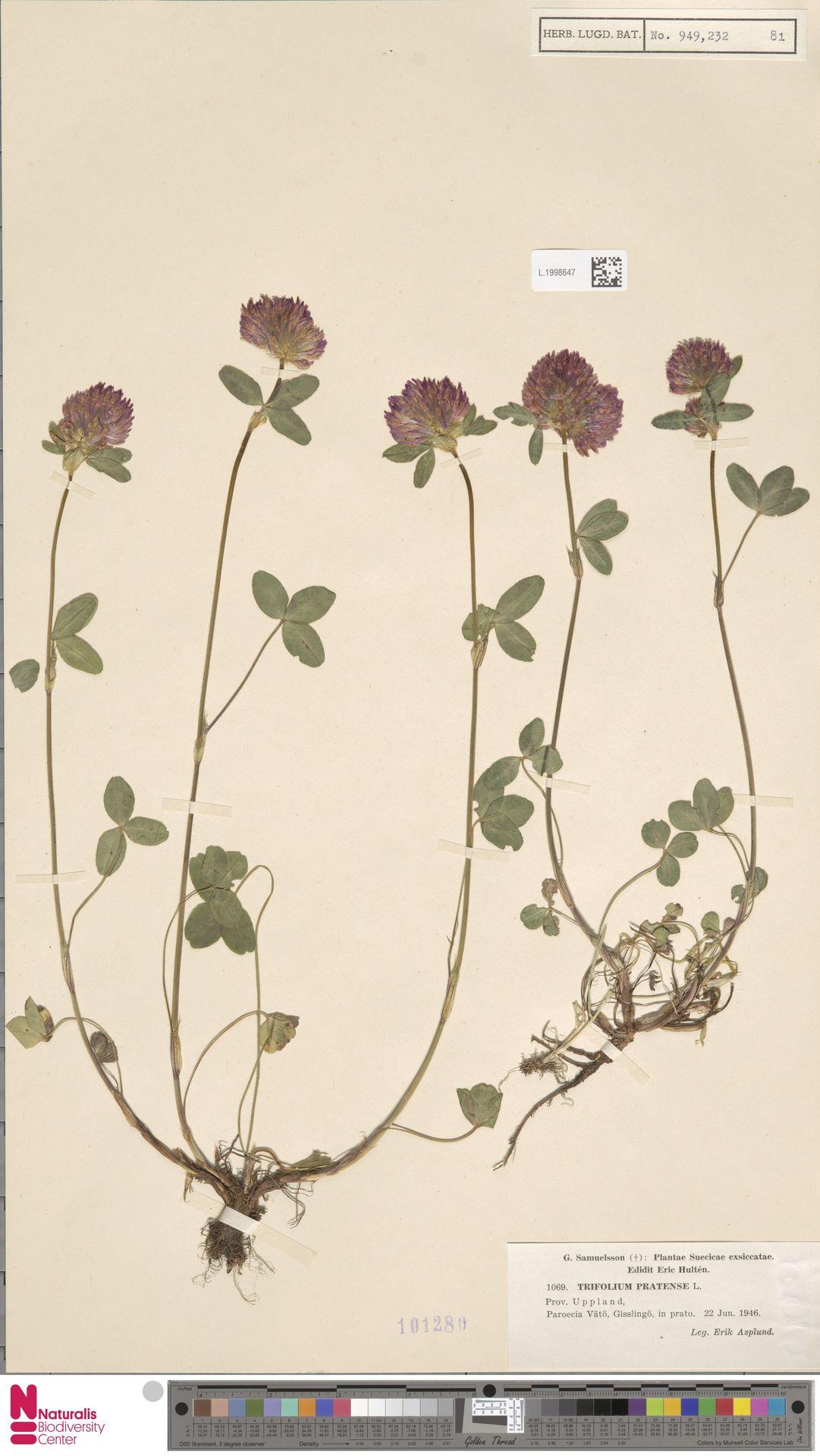 L.1998647 | Trifolium pratense L.