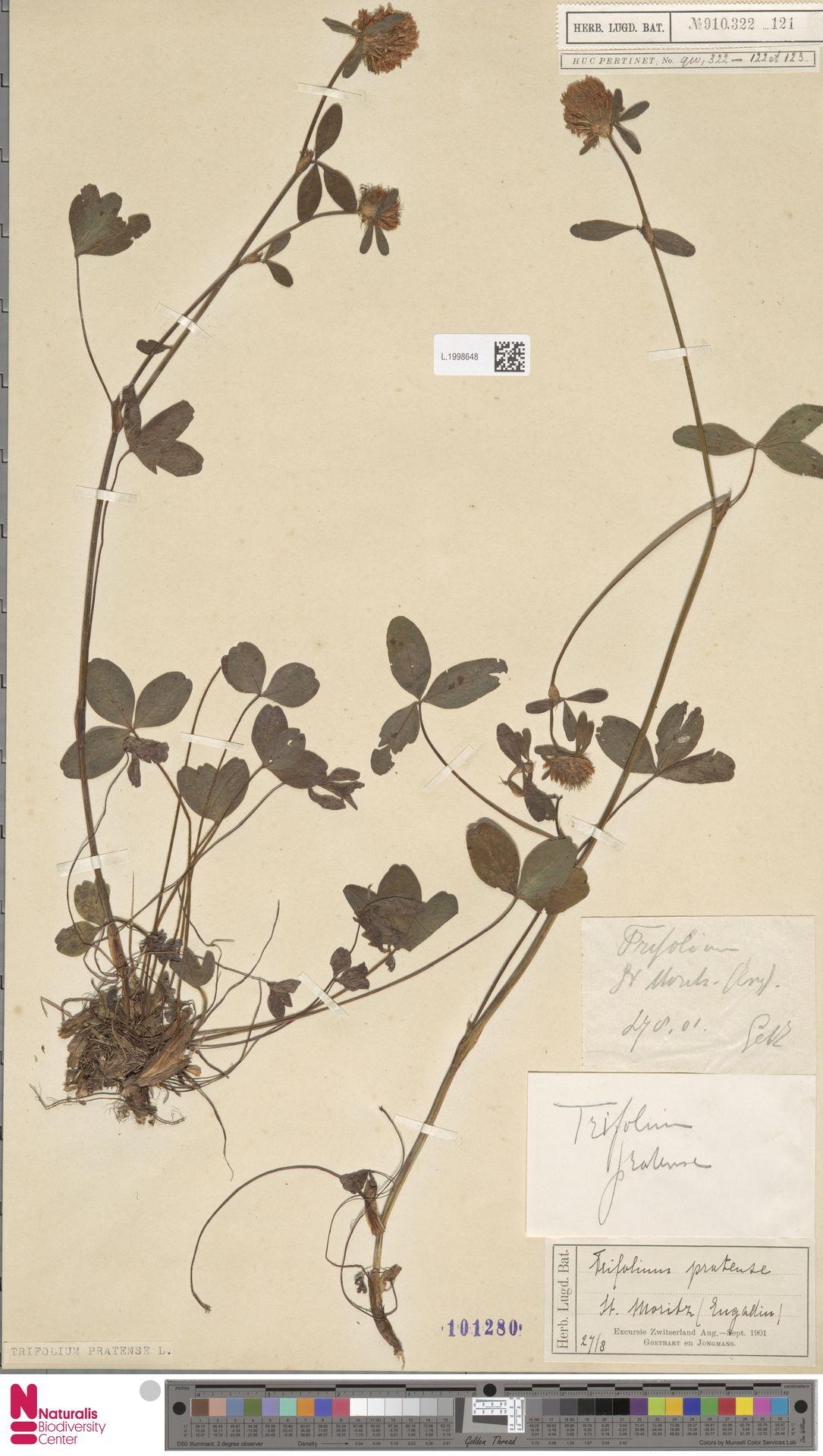 L.1998648 | Trifolium pratense L.