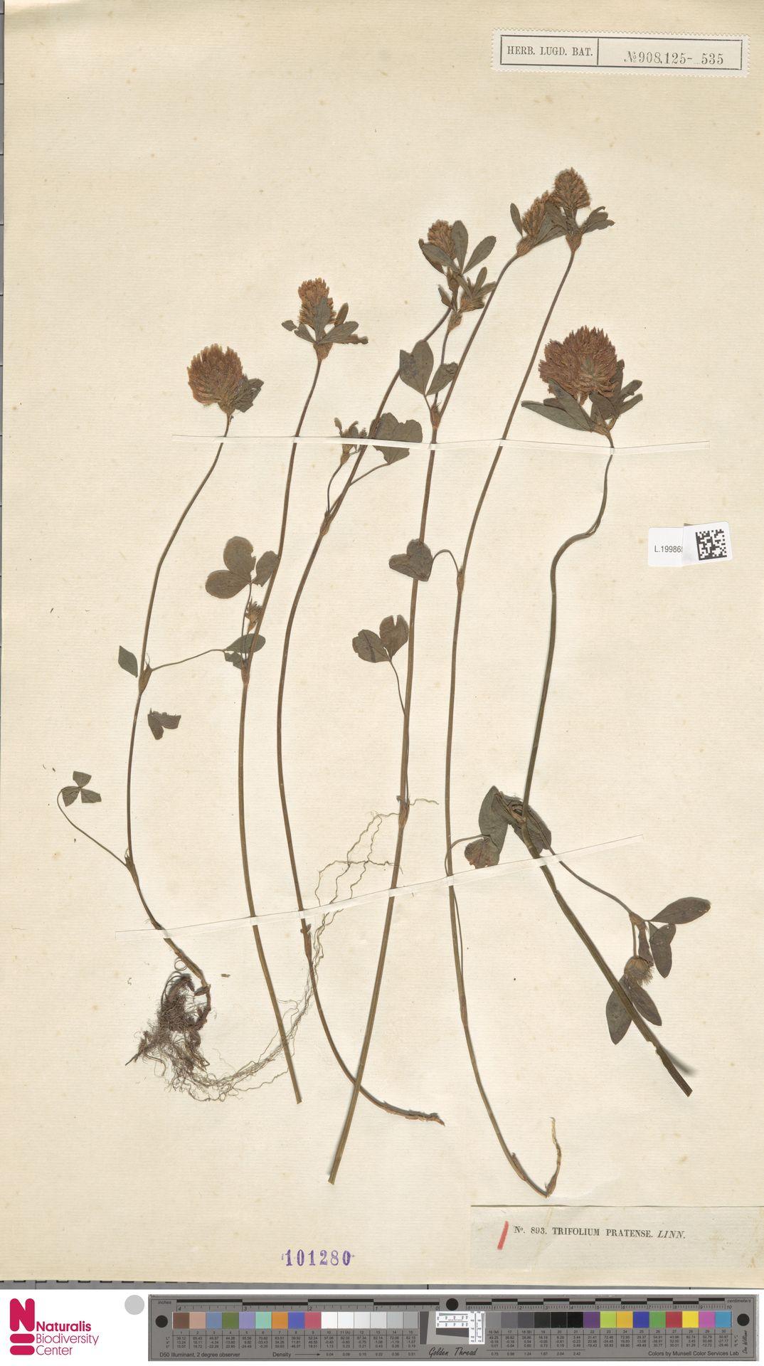 L.1998652 | Trifolium pratense L.
