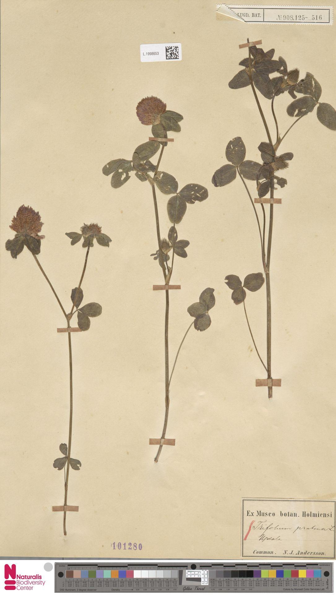 L.1998653 | Trifolium pratense L.