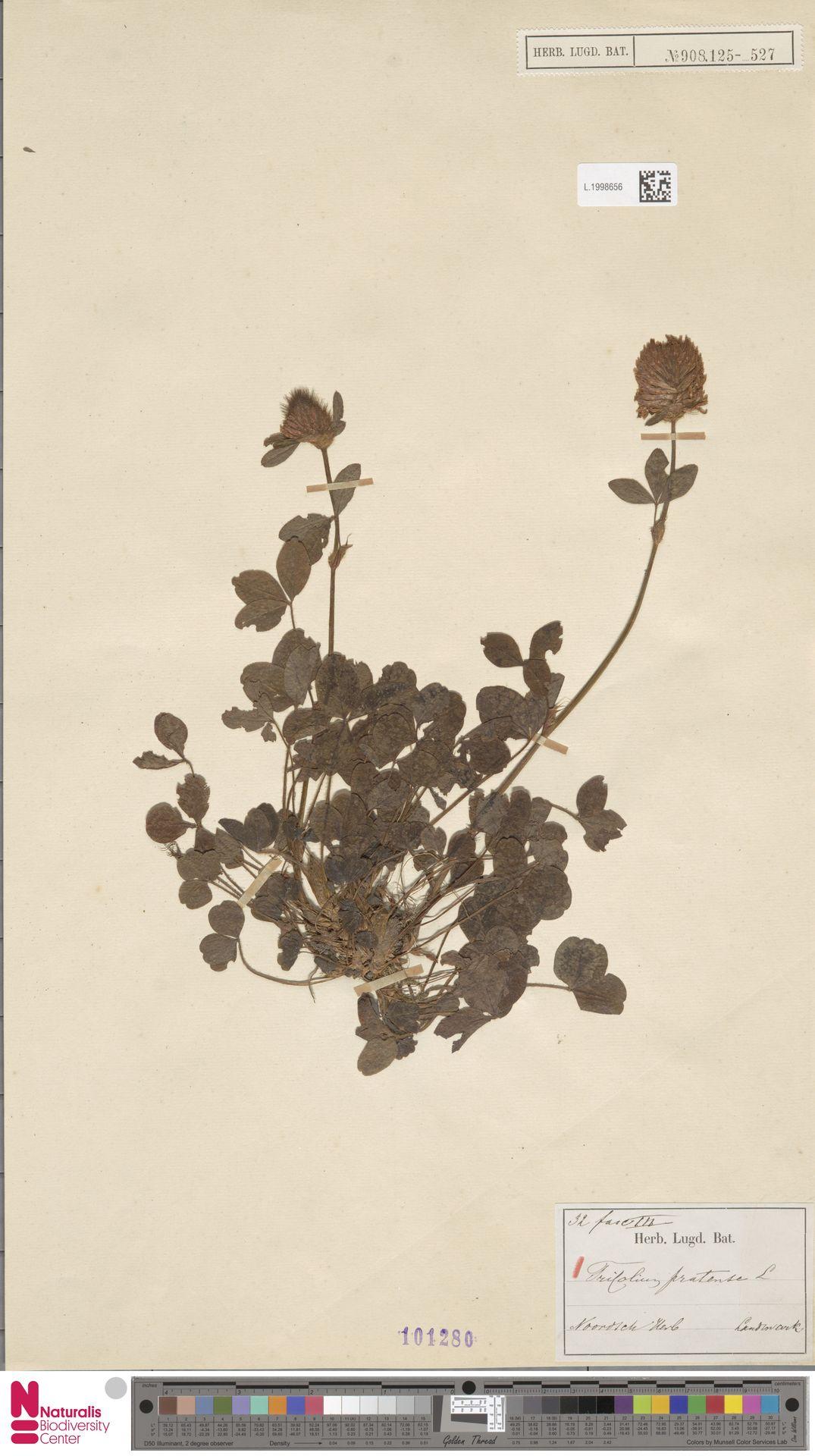L.1998656 | Trifolium pratense L.