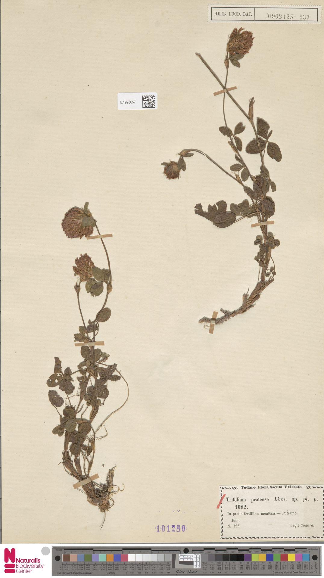 L.1998657 | Trifolium pratense L.