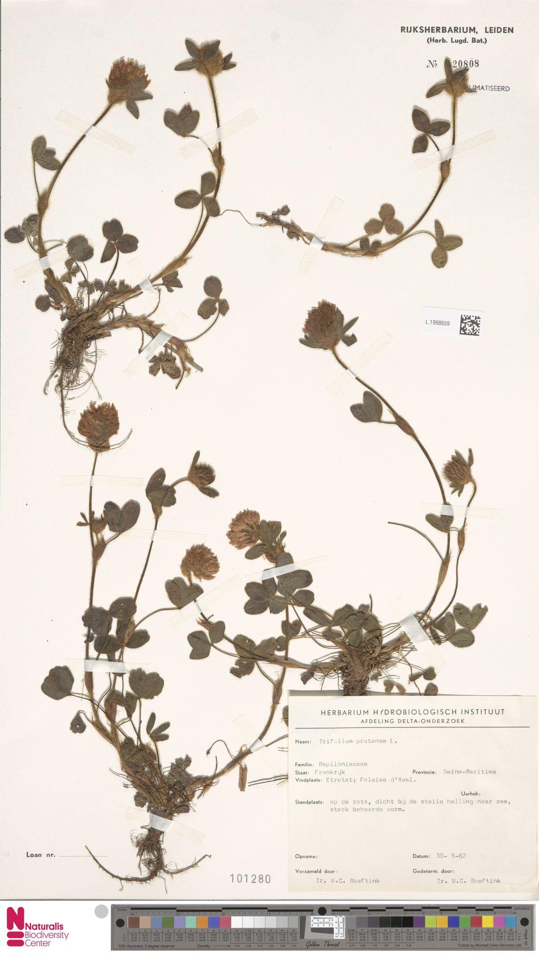 L.1998659 | Trifolium pratense L.