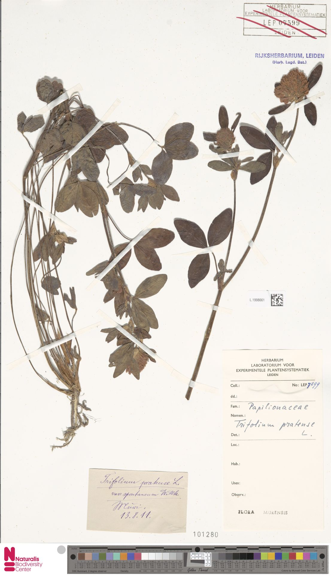 L.1998661 | Trifolium pratense L.
