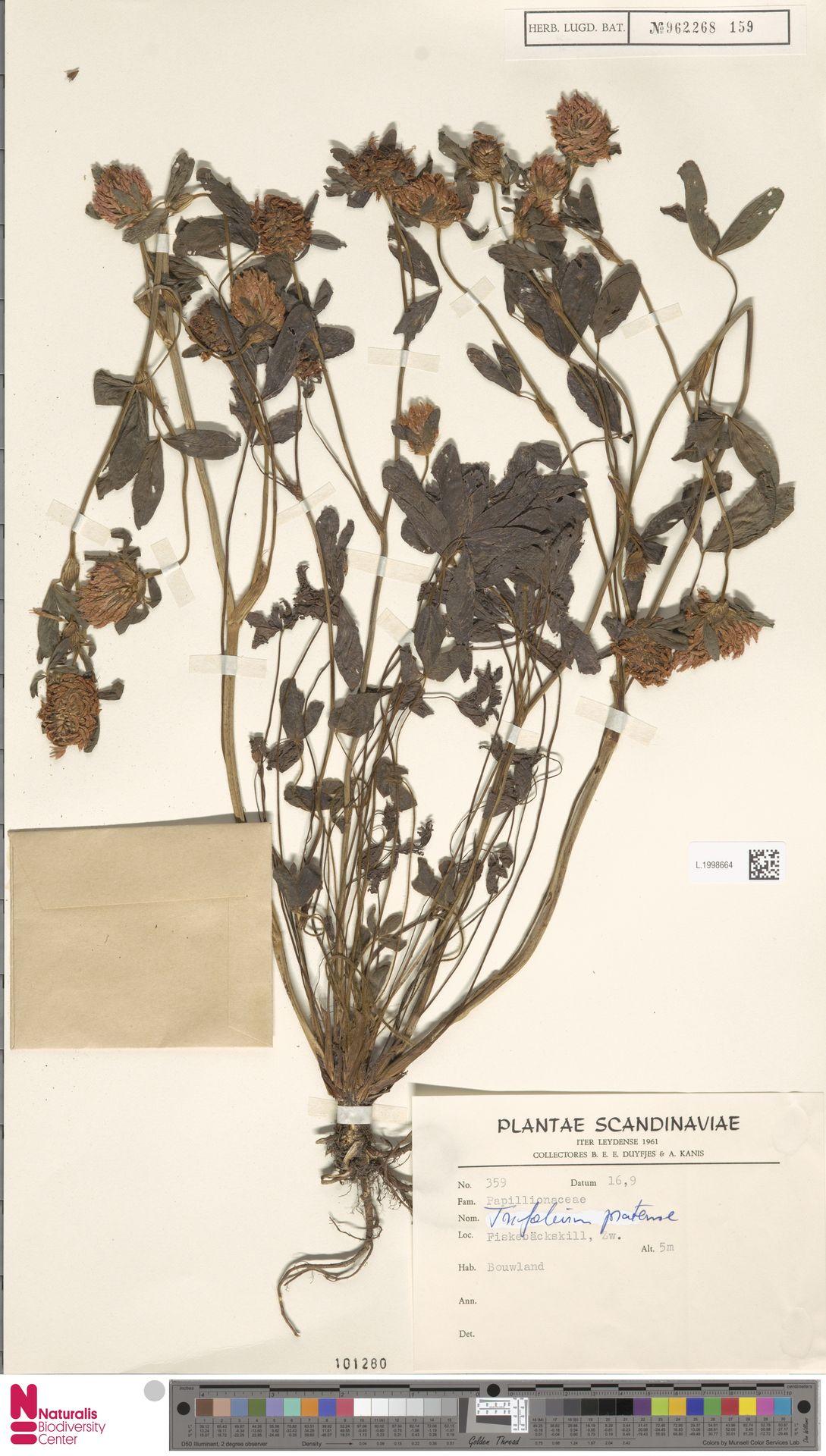 L.1998664 | Trifolium pratense L.