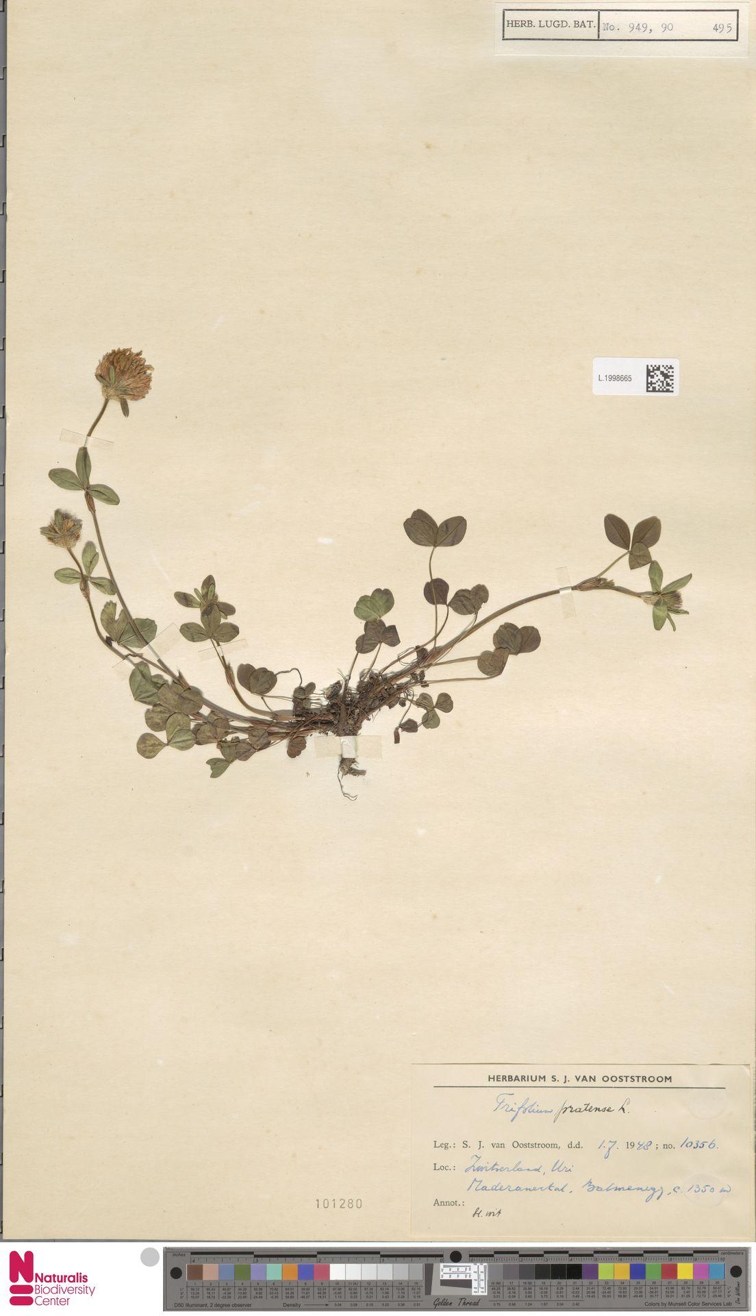 L.1998665   Trifolium pratense L.