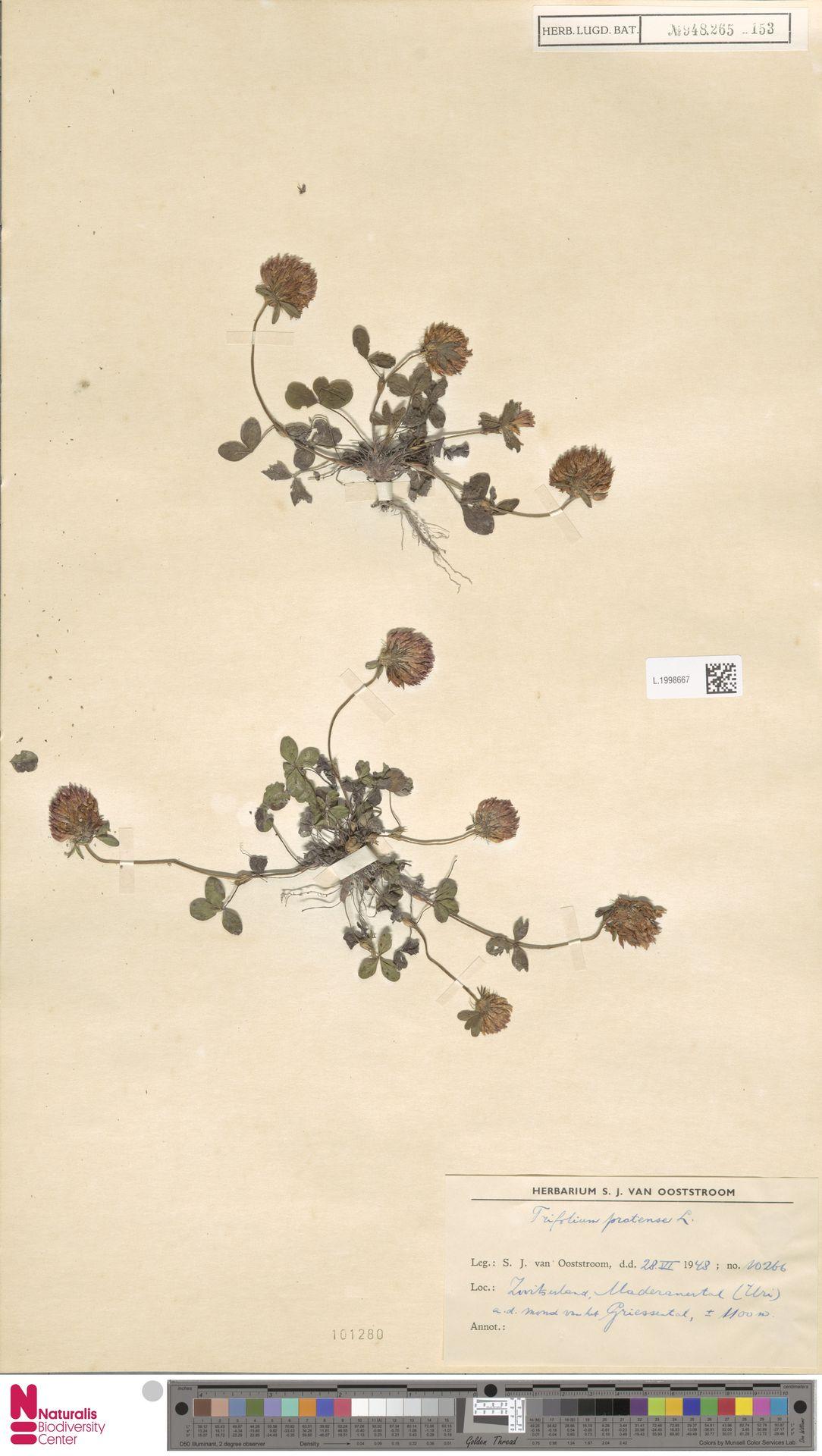 L.1998667 | Trifolium pratense L.