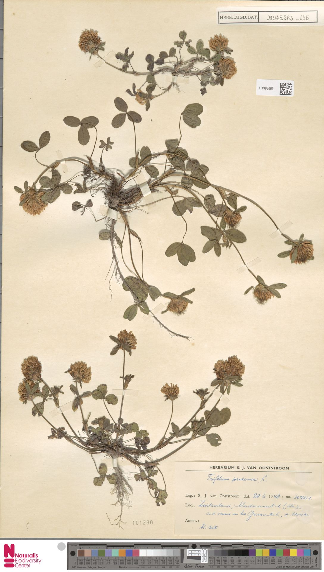 L.1998669 | Trifolium pratense L.