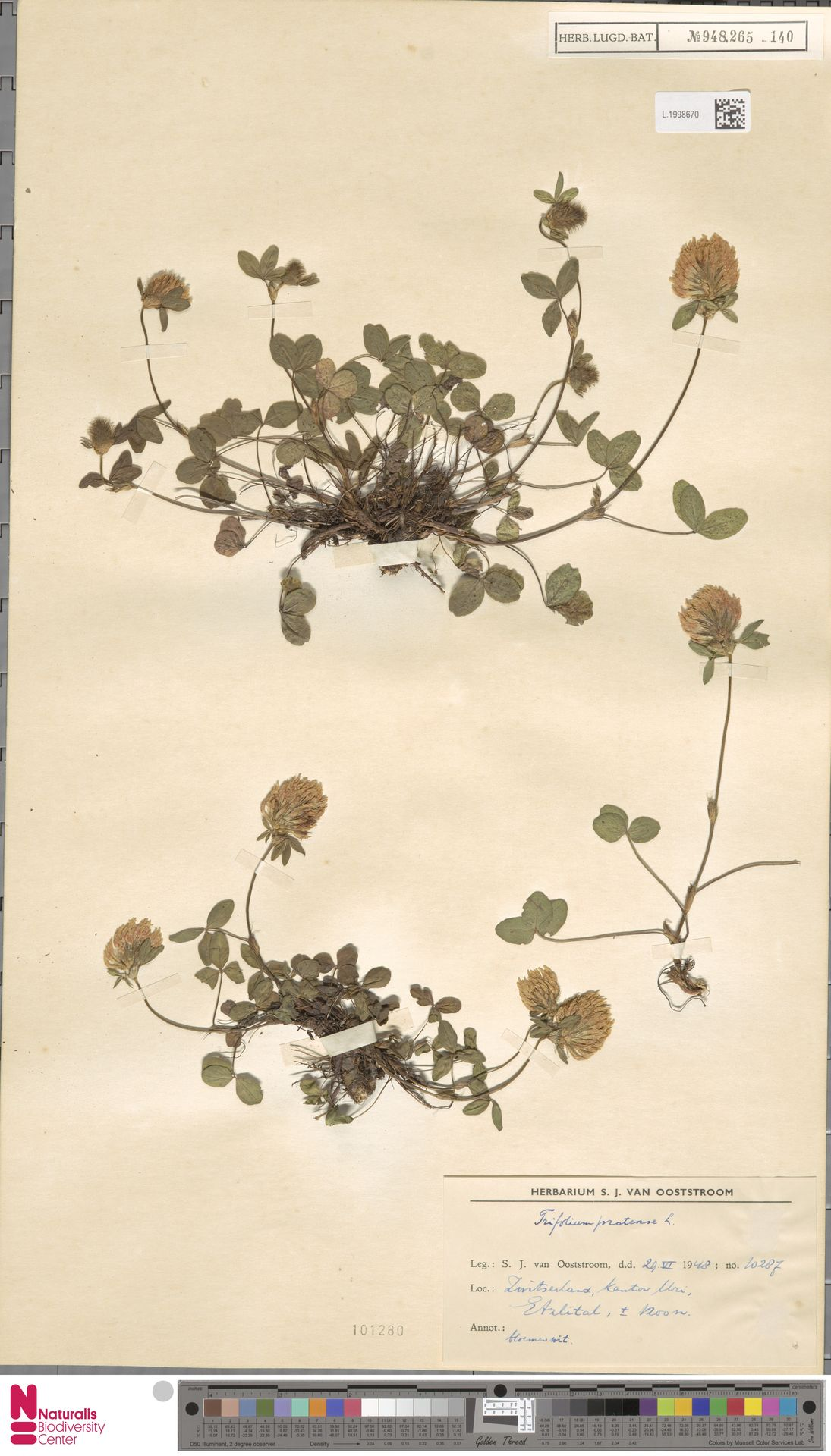 L.1998670   Trifolium pratense L.