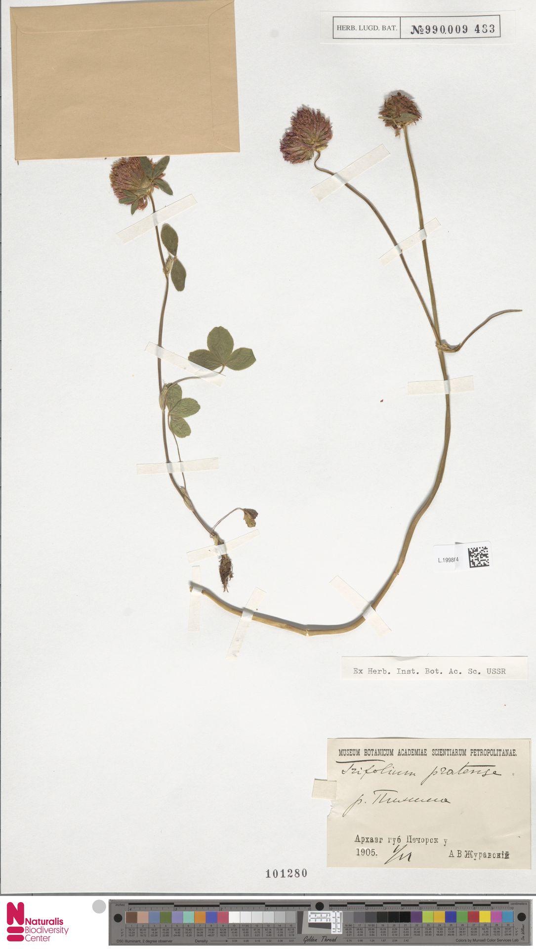 L.1998674 | Trifolium pratense L.