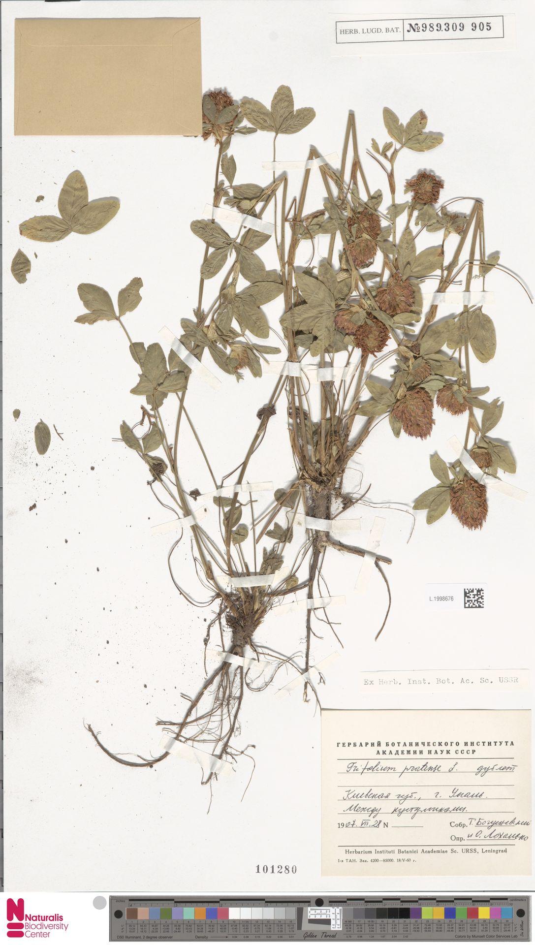 L.1998676   Trifolium pratense L.