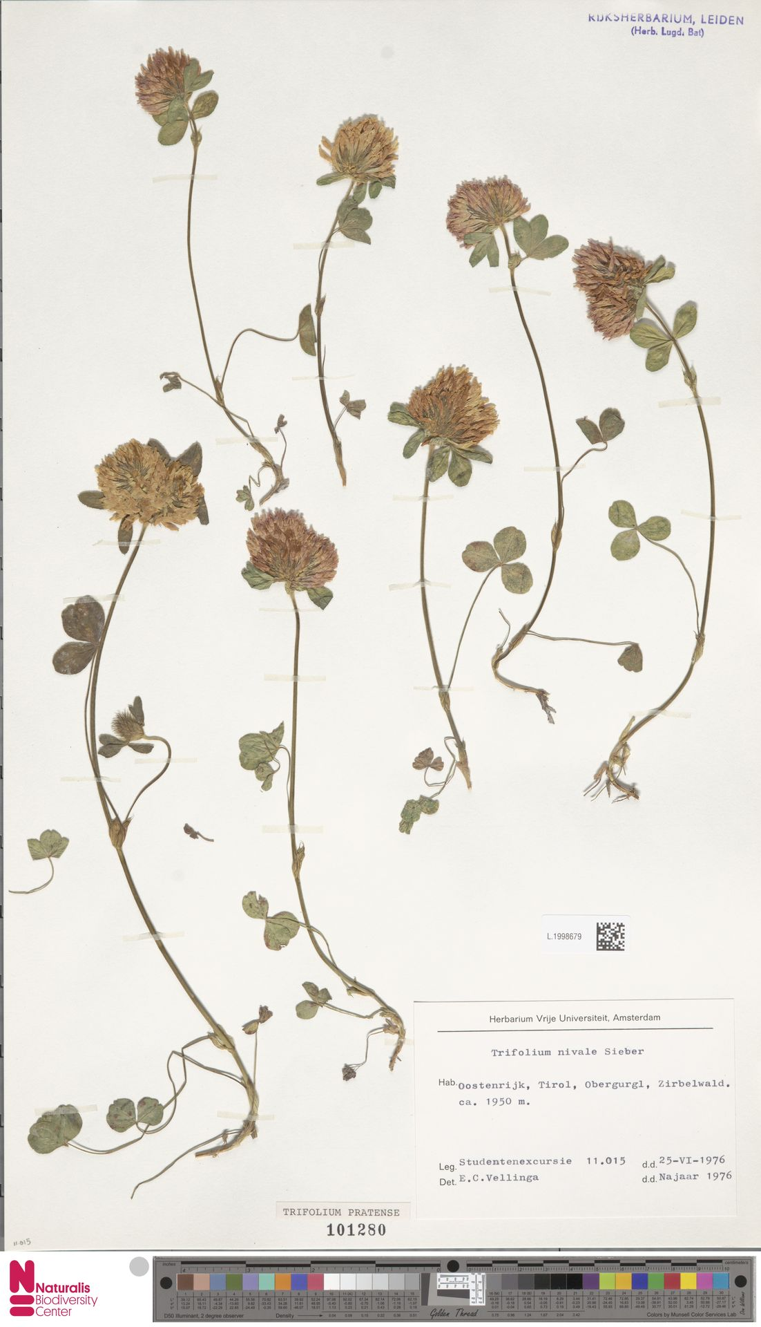 L.1998679   Trifolium pratense L.