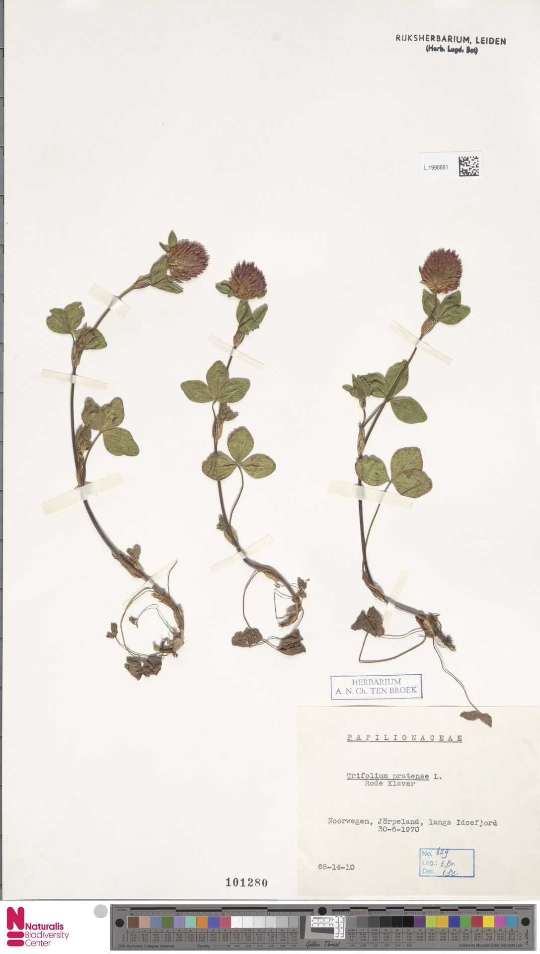 L.1998681 | Trifolium pratense L.