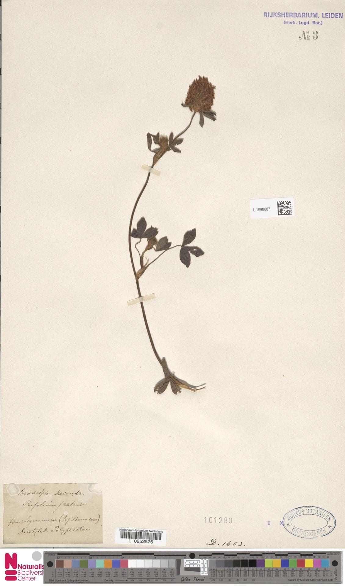 L.1998687 | Trifolium pratense L.