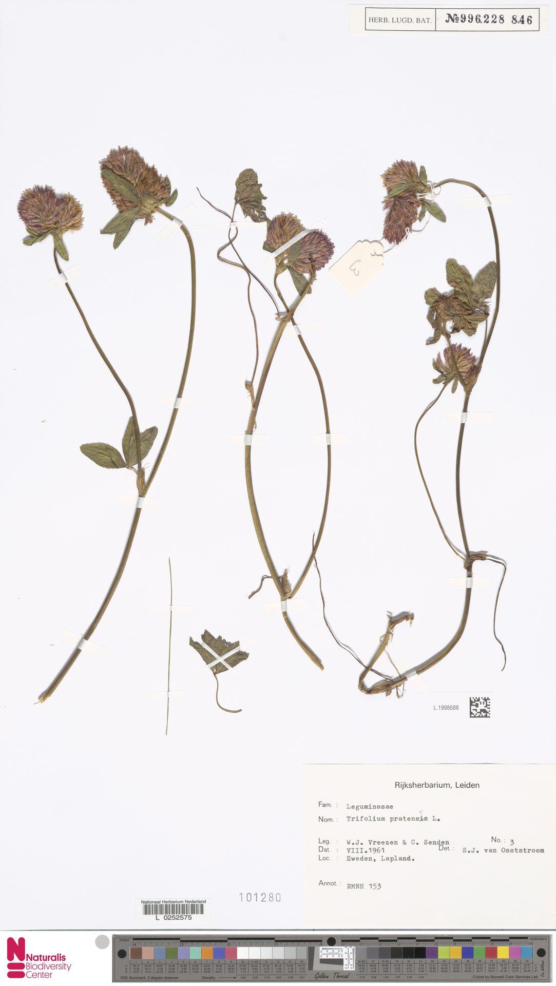 L.1998688   Trifolium pratense L.