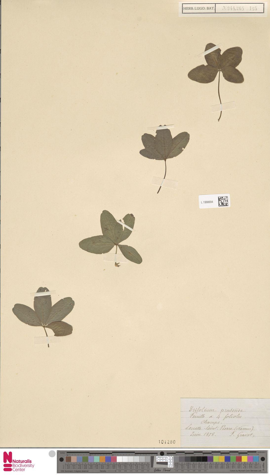 L.1998694 | Trifolium pratense L.