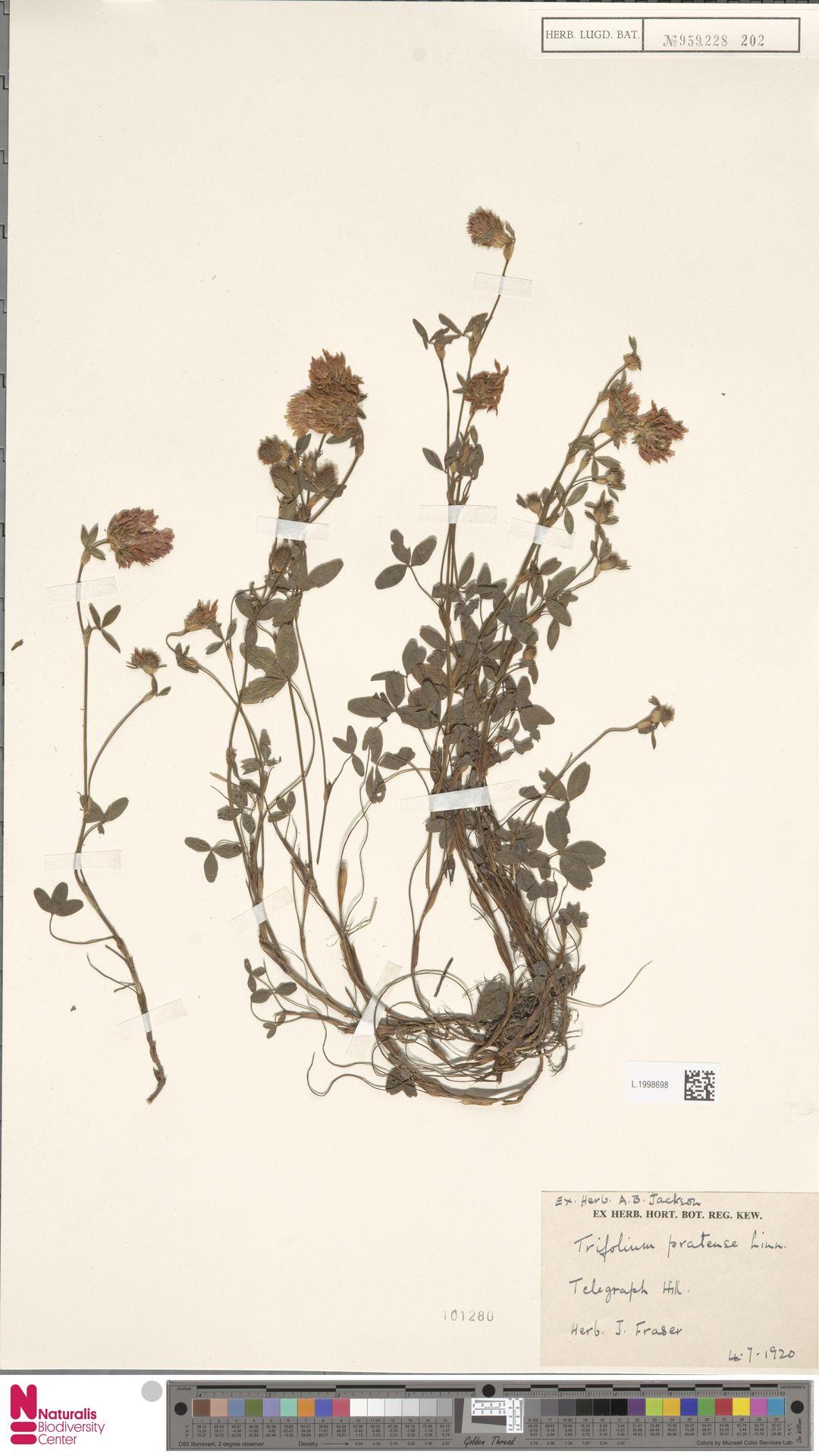 L.1998698 | Trifolium pratense L.