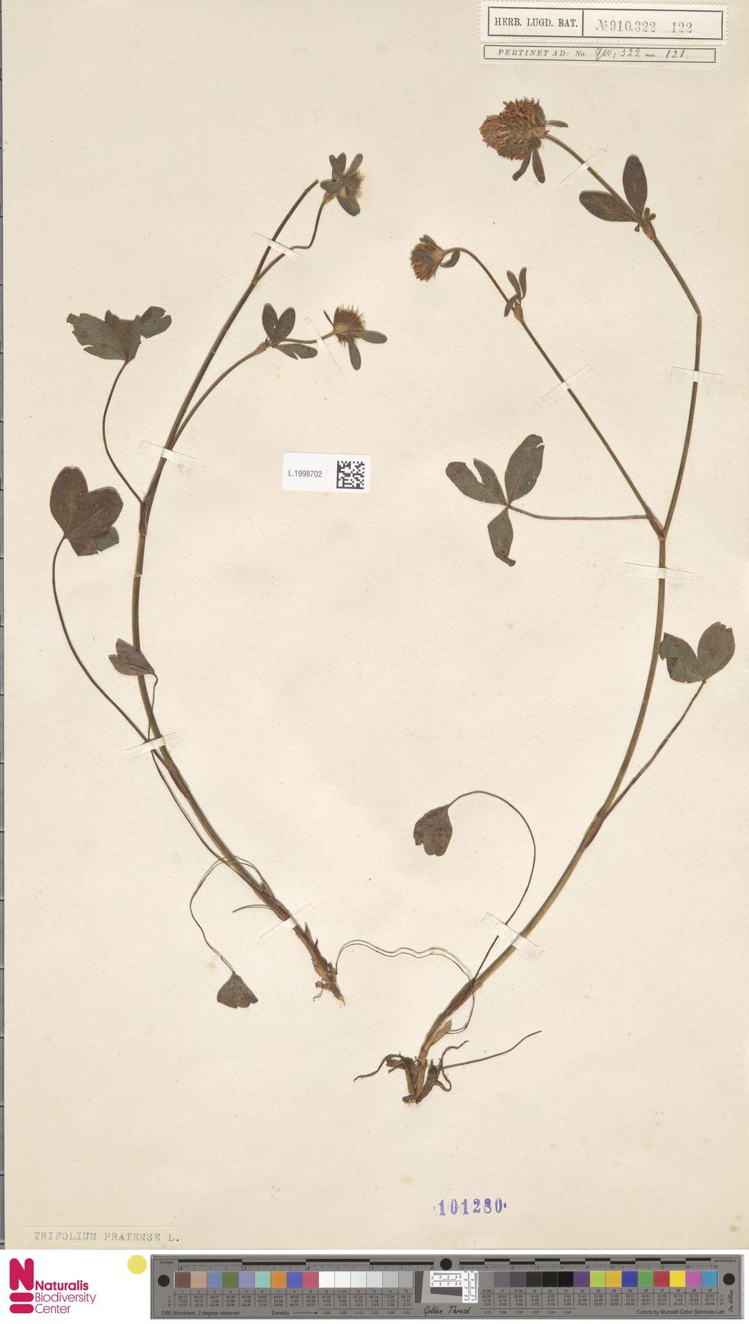L.1998702 | Trifolium pratense L.