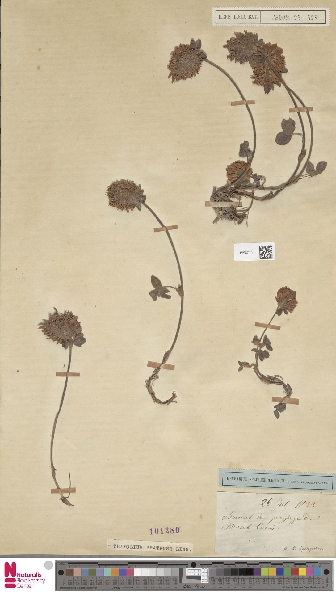 L.1998710 | Trifolium pratense L.