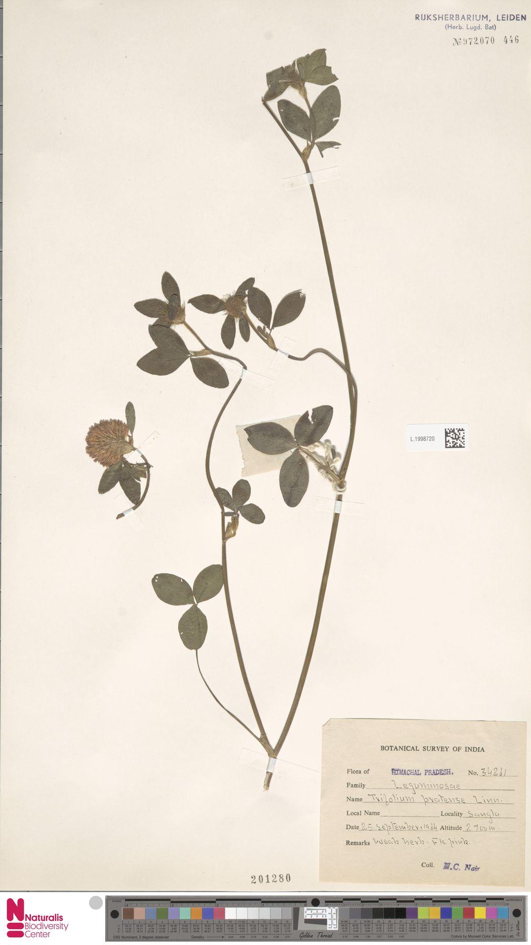 L.1998720 | Trifolium pratense L.